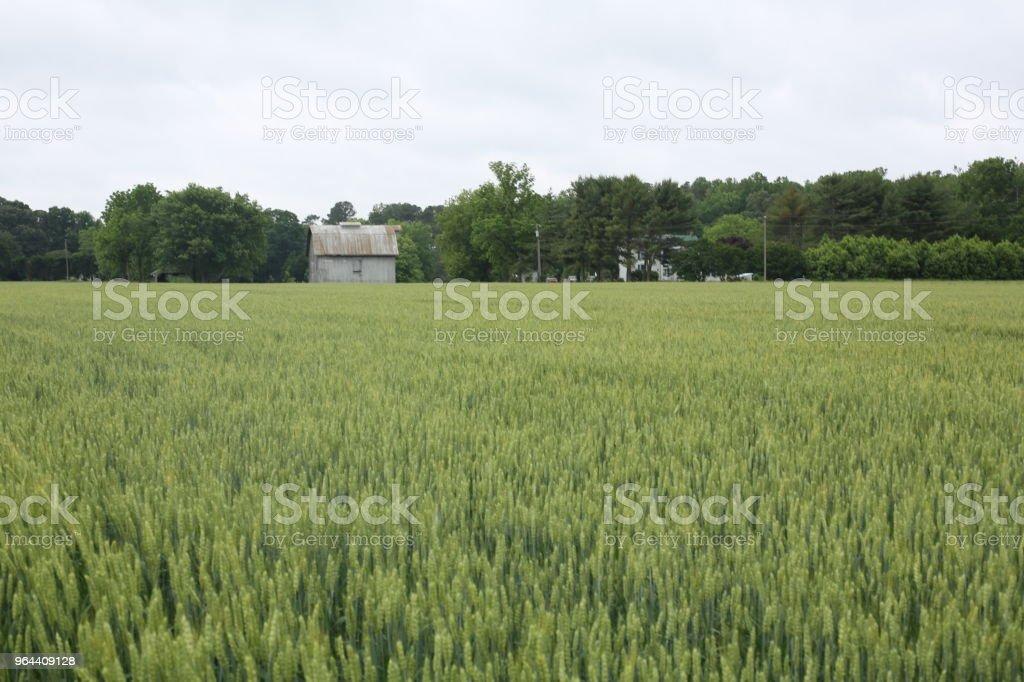 Campo de trigo verde com árvores e uma fazenda na distância - Foto de stock de Agricultura royalty-free