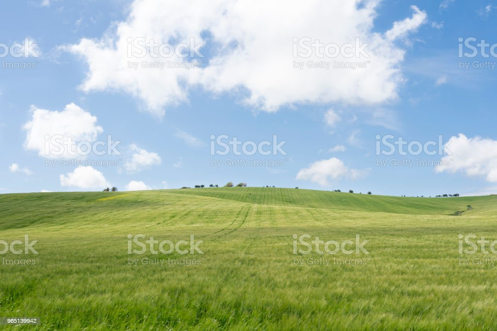 Green wheat field,blue sky and white clouds zbiór zdjęć royalty-free