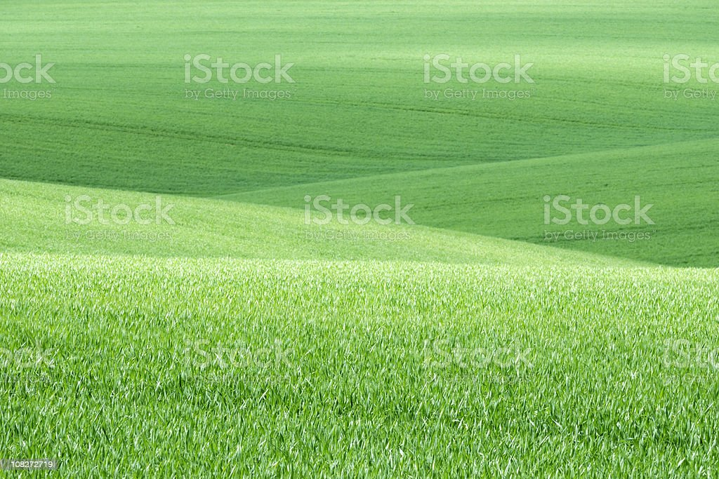 Green wheat fields in spring royalty-free stock photo
