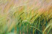 istock Green wheat fields 1307563640