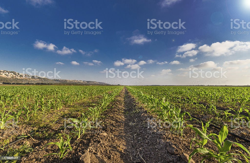 Green wheat filed lue sky and sun rays royalty-free stock photo