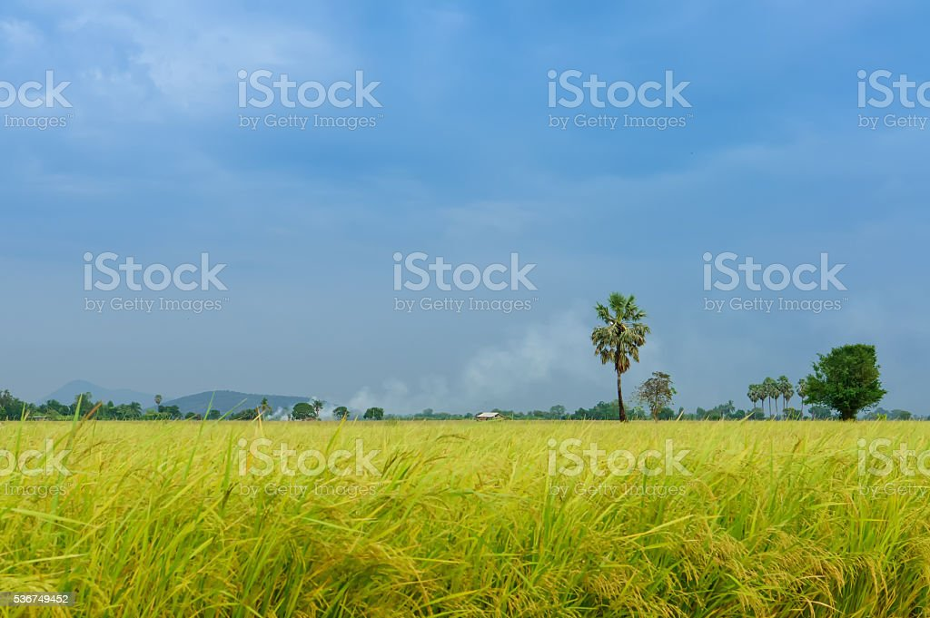 Green Wheat Head in Cultivated Agricultural Field stock photo