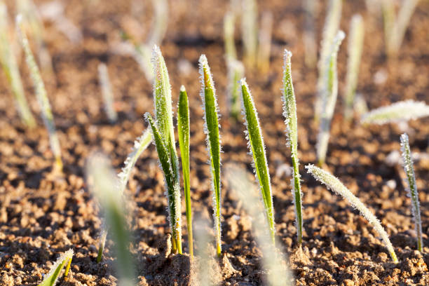 green wheat in a frost stock photo