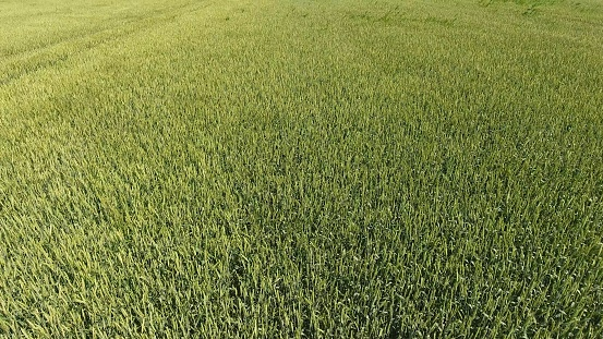 Green wheat in the field, top view with a drone. Texture of wheat green background.