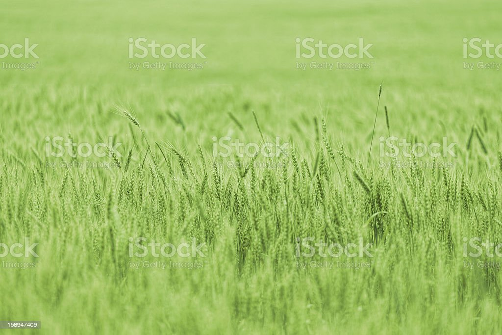 Green wheat on a grain field in spring royalty-free stock photo