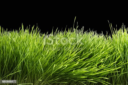 istock Green wheat on isolated background 680668872