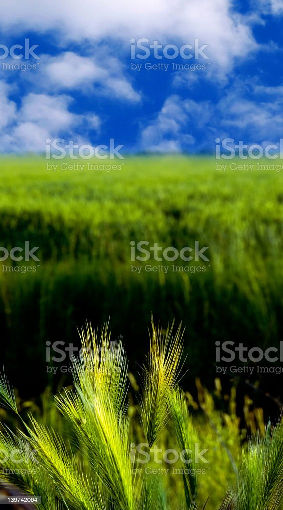 green wheat royalty-free stock photo