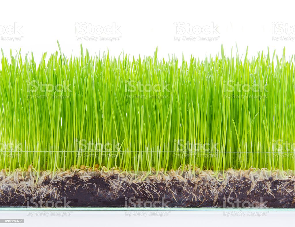 green wheat sprout on white background royalty-free stock photo