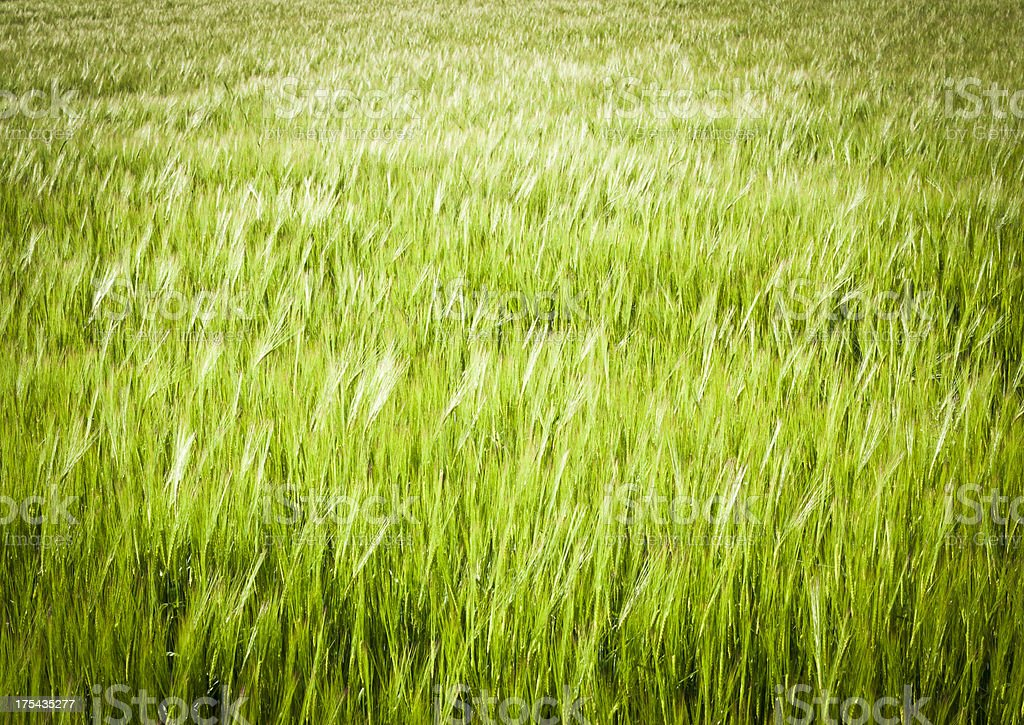 Green Wheat Texture Background royalty-free stock photo