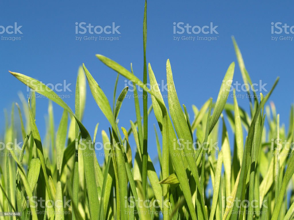 Green Wheatgrass royalty-free stock photo