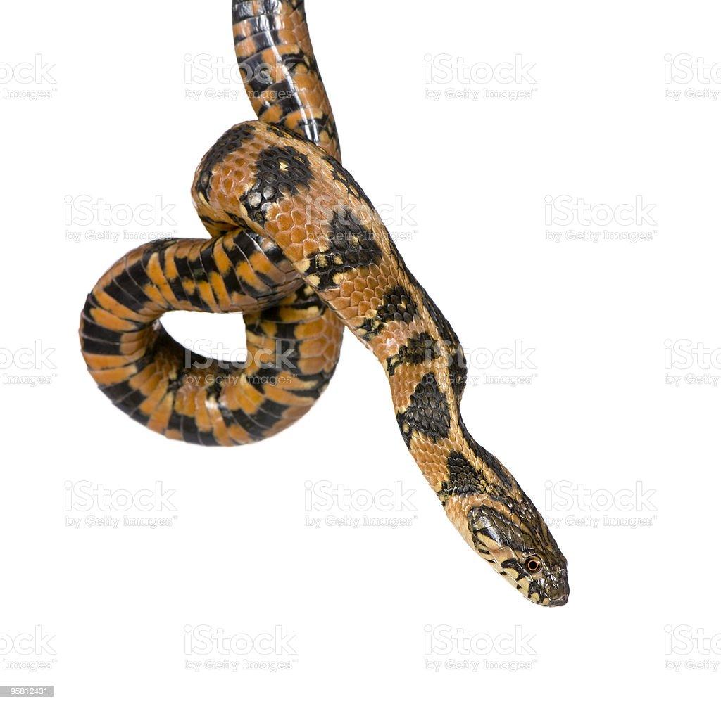 Green Whip Snake, Hierophis viridiflavus, studio shot stock photo