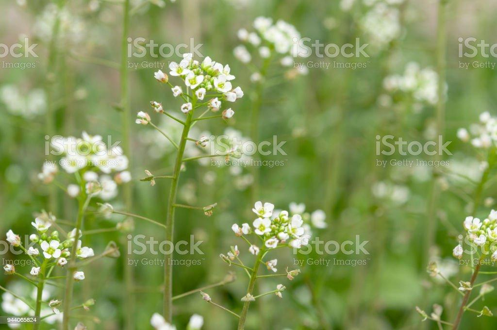 Grün Weiße Blume Unkraut Rasen Hirten Geldbörse Lizenzfreies Stock Foto