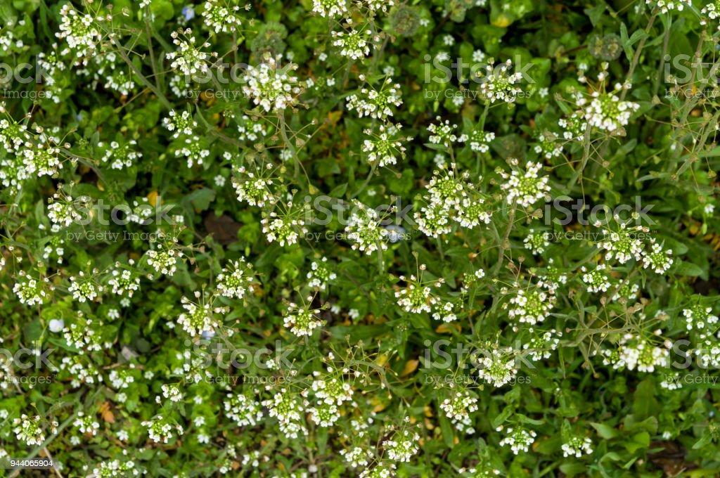 Grün Weiße Blume Unkraut Rasen Hirten Geldbörse Stock-Fotografie und ...