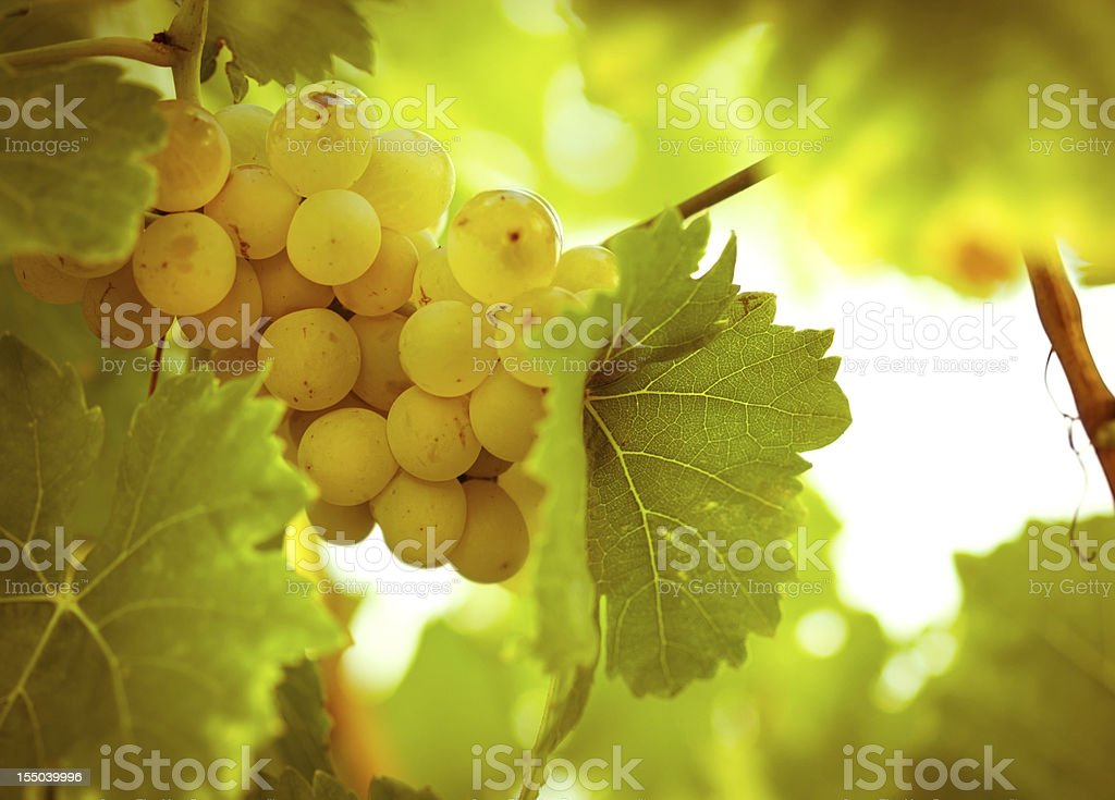 Green - white grape (Riesling) stock photo