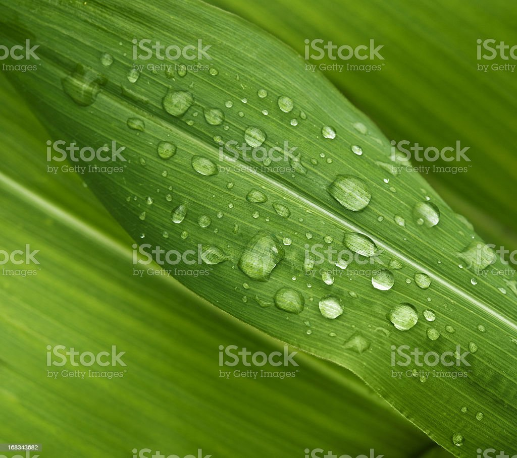 Green wide leaves with clear dew drops royalty-free stock photo