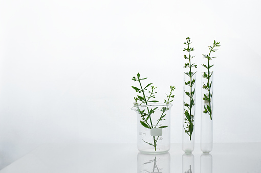 natural green wild plant in beaker and test tube for cosmetic skin care or pharmacy rearch white science white background