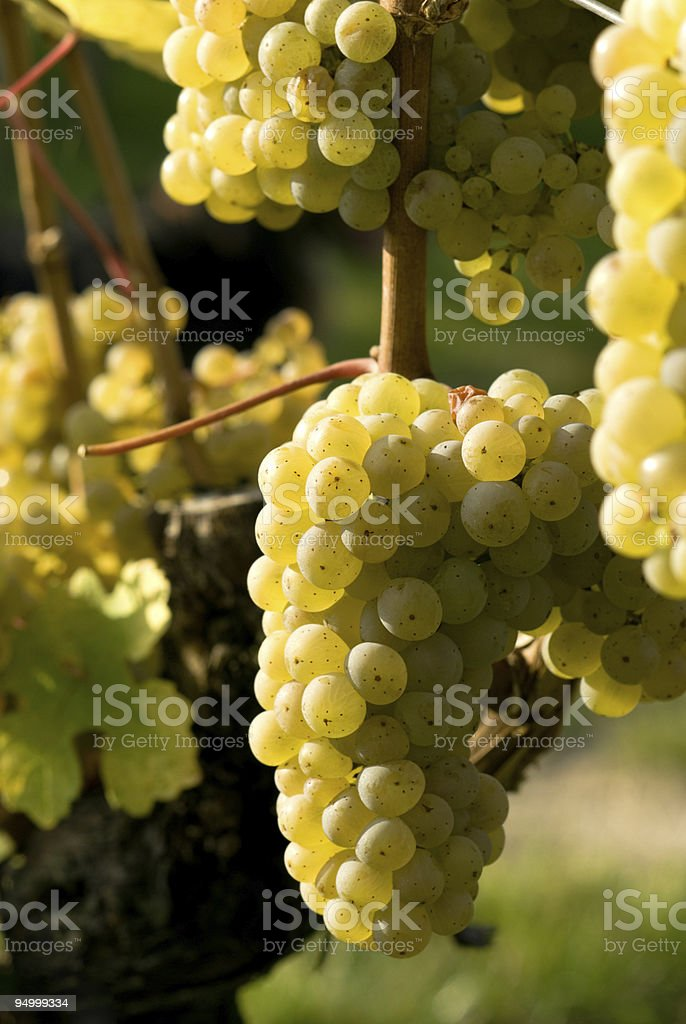 green wine berries stock photo
