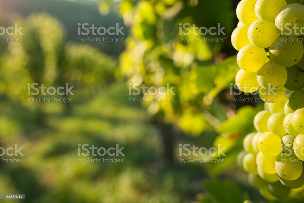 Green wine grapes in a vineyard stock photo