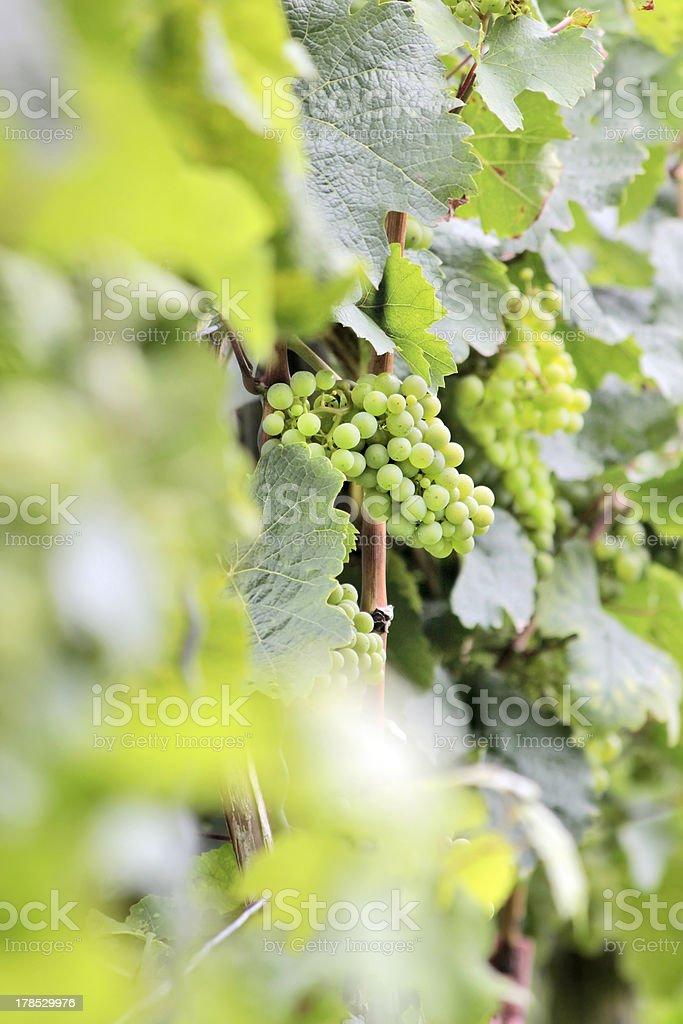 Green wine grapes stock photo