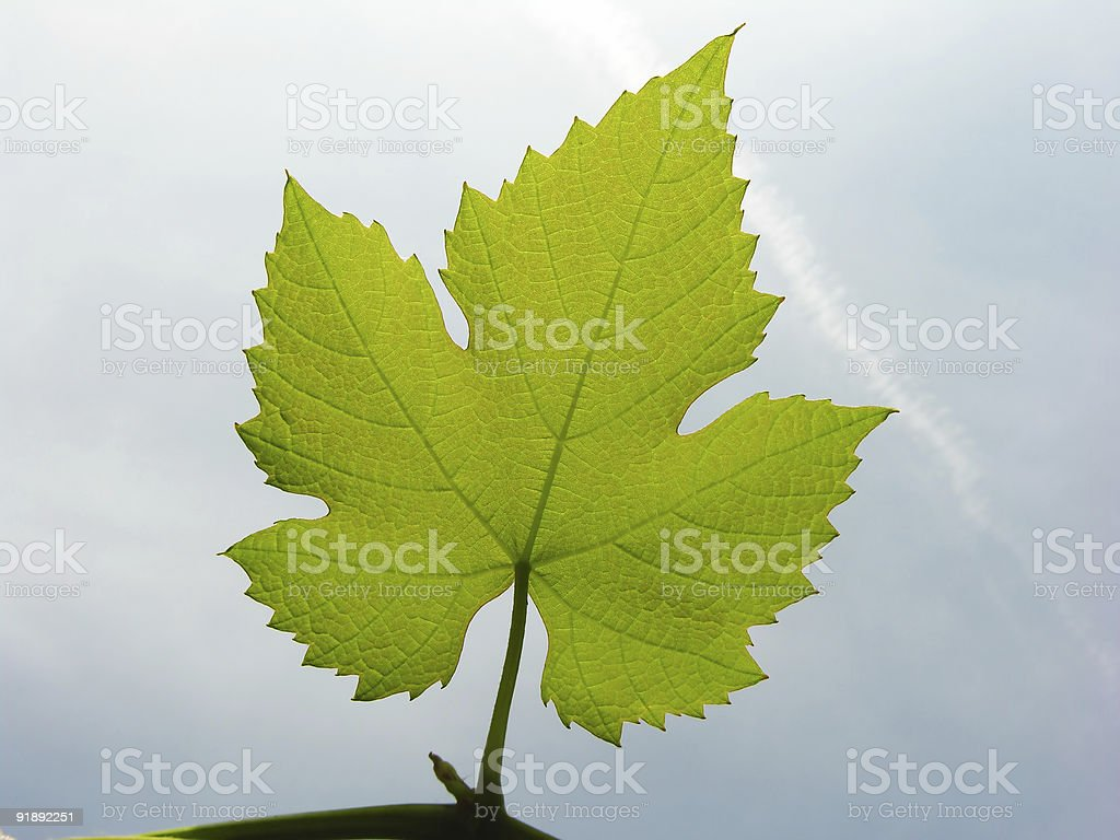 Green Wine Leaf royalty-free stock photo