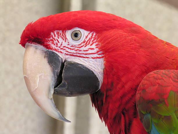verde wing arara - arara vermelha retrato - fotografias e filmes do acervo