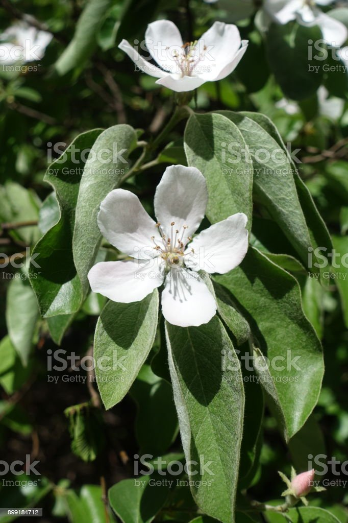 Green with dense grey-white pubescence leaves and white flowers of quince stock photo