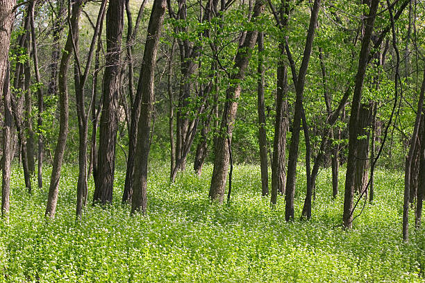 green woodlands - introduced species stock pictures, royalty-free photos & images