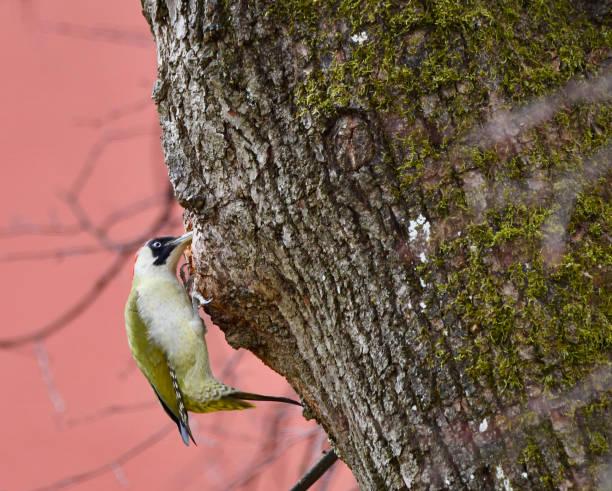 Green Woodpecker (picus viridis) stock photo