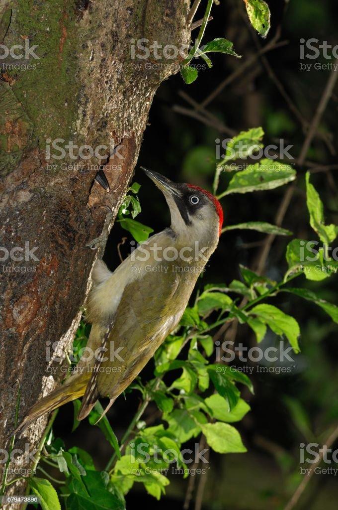 綠色啄木鳥 免版稅 stock photo