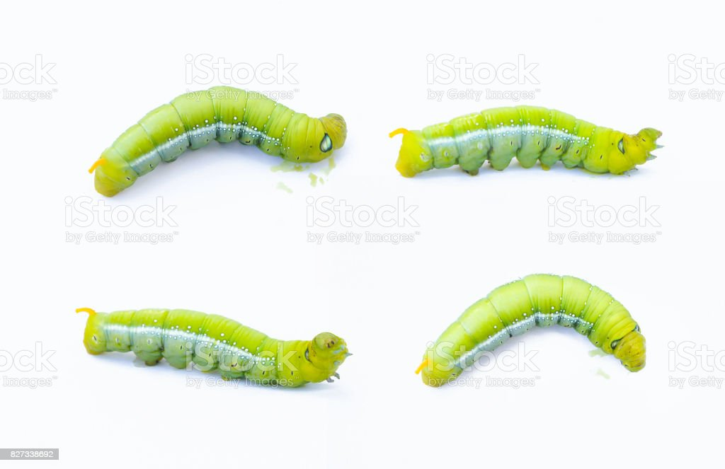 Green worm caterpillars animals isolate on white background stock photo