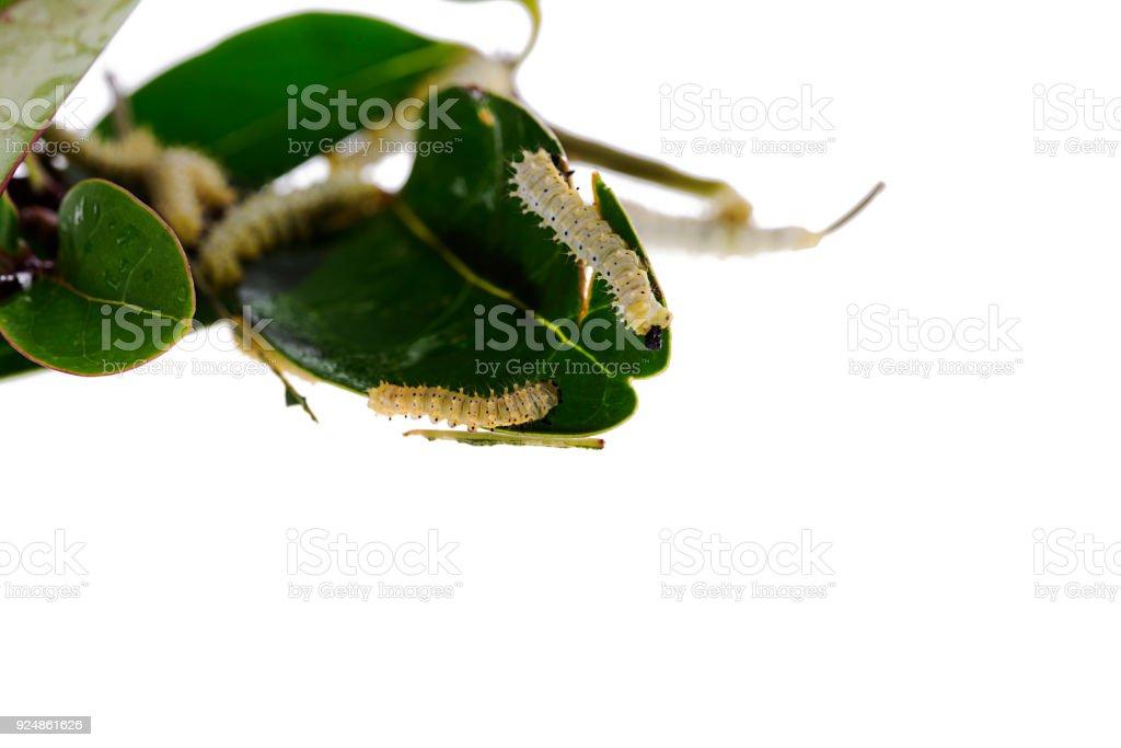 Green worm caterpillars animals isolate on white background stock photo