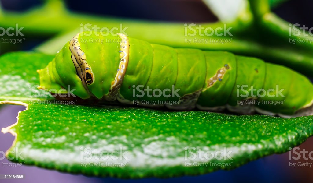 green worm eating the leaves. stock photo