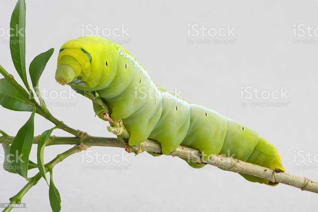 Green worm royalty-free stock photo