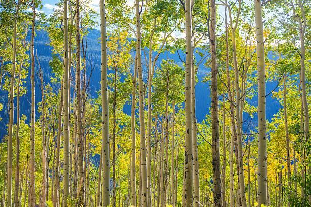 green yellow aspen-bäumen - wäldchen stock-fotos und bilder