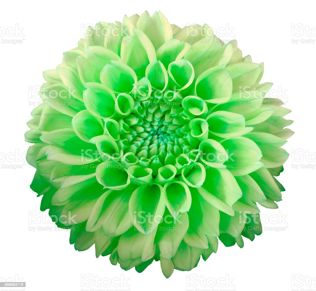 Green yellow dahlia flower white background isolated with clipping green yellow dahlia flower white background isolated with clipping path closeup with izmirmasajfo