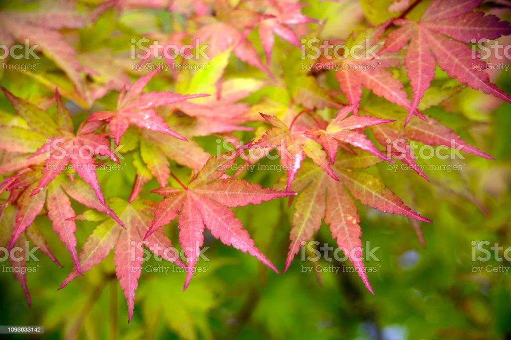 Green, yellow, red maple tree leaves. Full frame view suitable for...