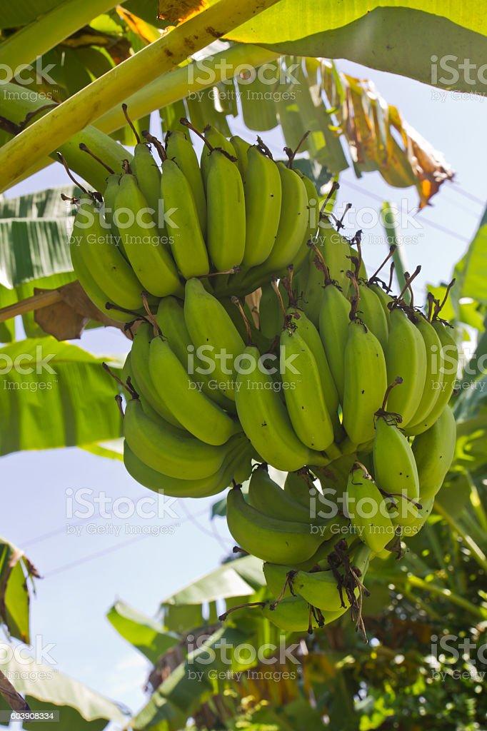 Green young bananas stock photo