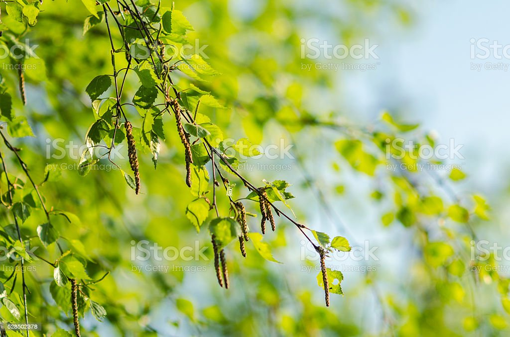 green young birch branch with catkins sunlight stock photo