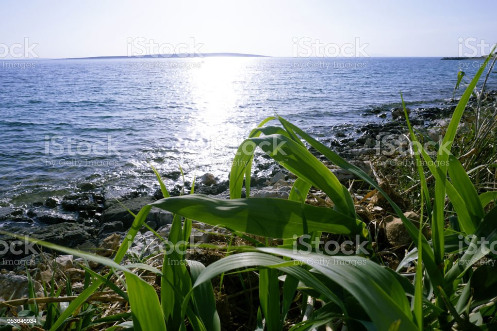 Green young grass Phragmites near the clearly blue sea with sun rays reflecting on water stock photo