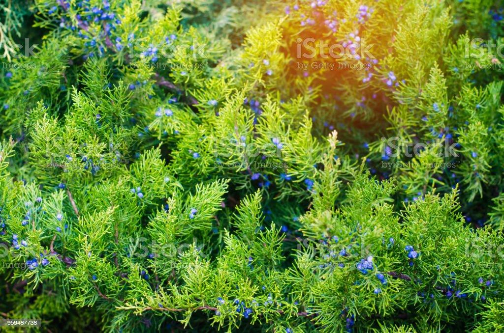 Ramas de enebro jóvenes verde cerca. Fondo con ramas de enebro. Bayas de enebro. día de sol. Fondo de pantalla de naturaleza. Primavera. verano - foto de stock