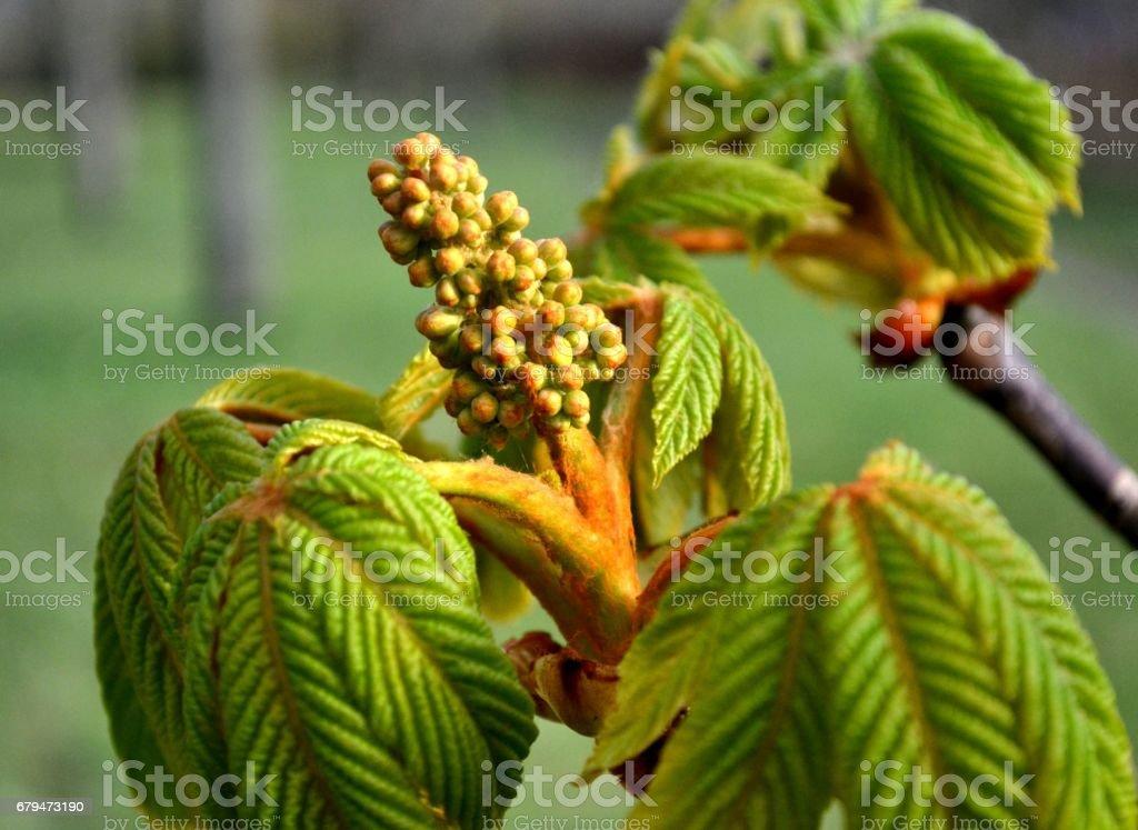 年輕的綠葉板栗和花芽 免版稅 stock photo