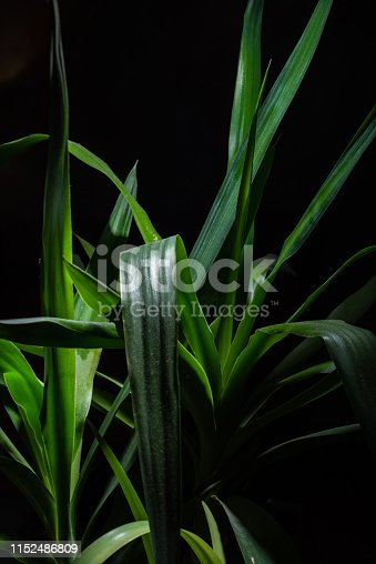 istock Green Yucca Front of The Black Background 1152486809