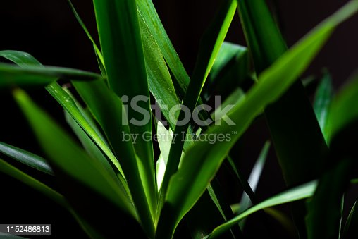 istock Green Yucca Front of The Black Background 1152486813
