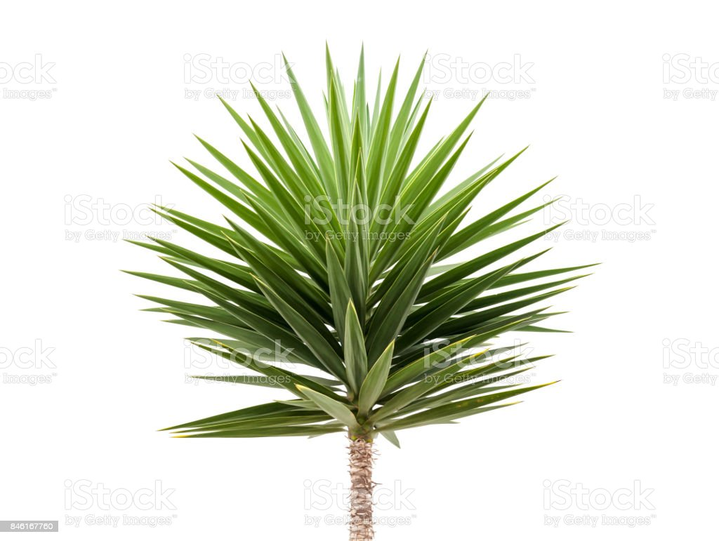 Green Yucca plant isolated on white stock photo