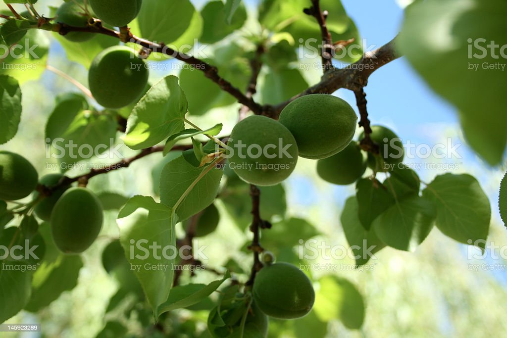 green yuong apples stock photo