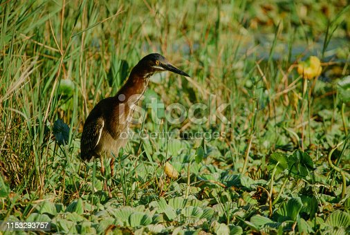 A horizontal image of greenback heron with outstreached neck as it hunts for a meal among the water hyacinths in the wetlands of the Everglades. It's a late afternoon image with sunlight lighting the bird.