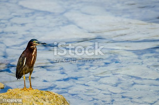 A small greenback heron stands tall on the rocks in Bermuda