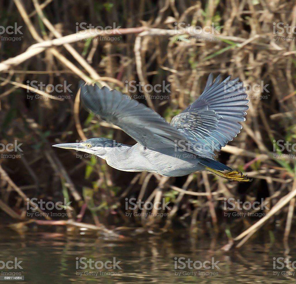 Green-backed Heron stock photo