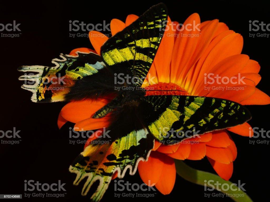 Green-black-orange Chrysiridia rhipheus butterfly on orange gerbera flower stock photo