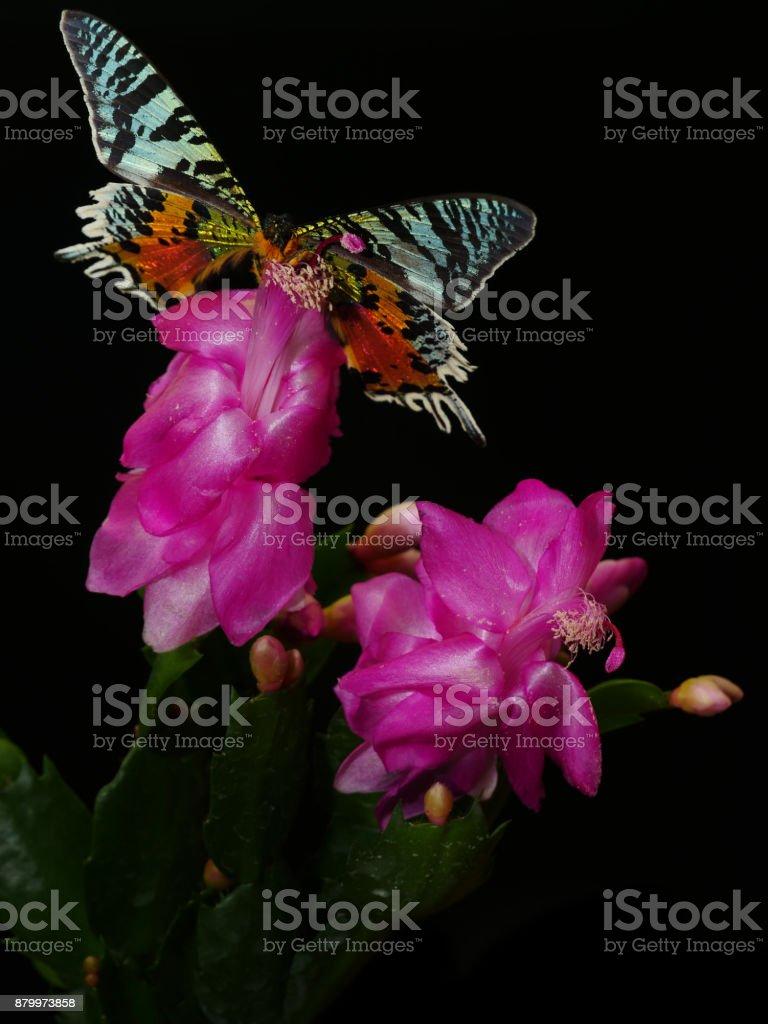 Green-black-orange Chrysiridia rhipheus butterfly on pink flower of Schlumbergera trunctata cactus stock photo